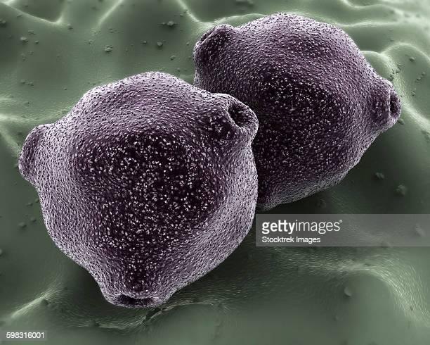 microscopic view of birch tree pollen. - pollen stock illustrations, clip art, cartoons, & icons