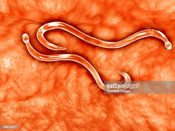 Microscopic view of hookworm. The hookworm is a parasitic nematode that lives in the small intestine of its host, which may be a mammal such as a dog, cat, or human.