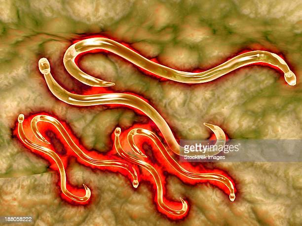 microscopic view of hookworm. the hookworm is a parasitic nematode that lives in the small intestine of its host, which may be a mammal such as a dog, cat, or human. - roundworm stock illustrations