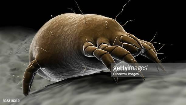 Microscopic visualization of a dust mite.