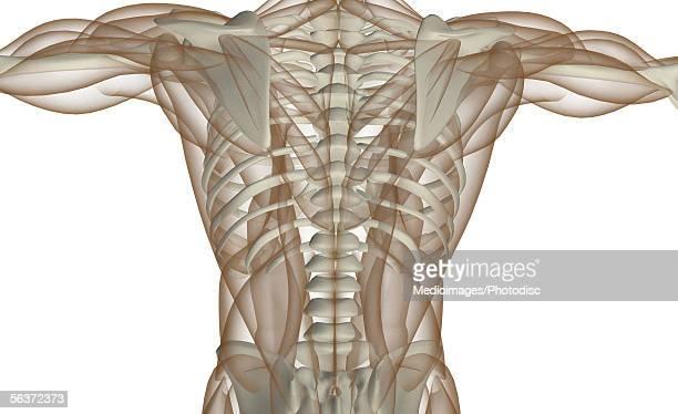 ilustraciones, imágenes clip art, dibujos animados e iconos de stock de mid section view of a human skeleton - músculo humano
