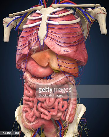 Midsection View Showing Internal Organs Of Human Body Stock