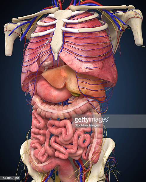 midsection view showing internal organs of human body. - human intestine stock illustrations, clip art, cartoons, & icons