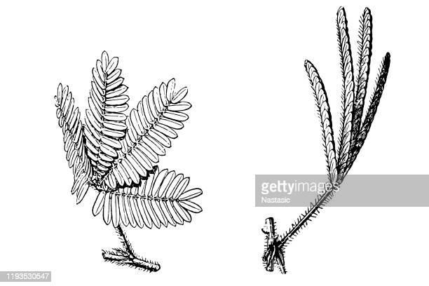 ミモザプディカ(敏感植物、眠い植物) - アカシア点のイラスト素材/クリップアート素材/マンガ素材/アイコン素材