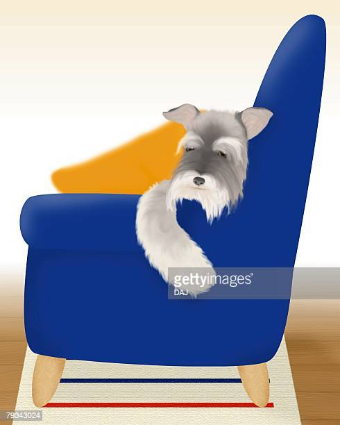 Miniature Schnauzer sleeping on sofa, front view, differential focus