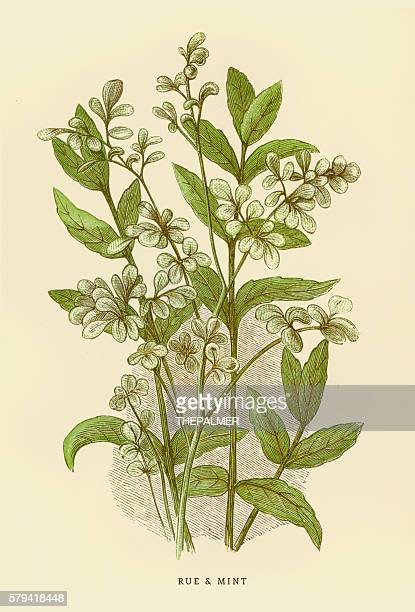 mint and rue illustration 1851 - mint leaf culinary stock illustrations, clip art, cartoons, & icons