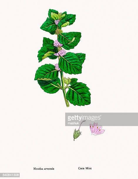 ミントの植物 - ペパーミント点のイラスト素材/クリップアート素材/マンガ素材/アイコン素材
