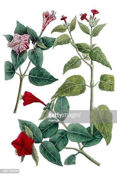 mirabilis 植物白で分離、18 世紀の植物イラストレーション - 漢方薬点のイラスト素材/クリップアート素材/マンガ素材/アイコン素材