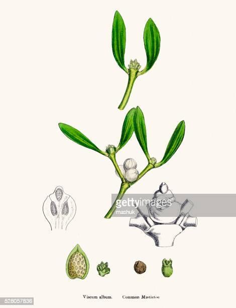 misletoe plant (viscum album) scientific illustration - mistletoe stock illustrations