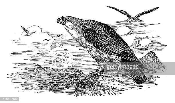 mississippi kite - falconry stock illustrations