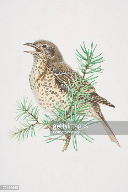 ilustrações de stock, clip art, desenhos animados e ícones de mistle thrush (turdus viscivorus), illustration of pale, black-spotted bird, standing boldly upright, long wings and tail has whitish edges, perched high. - cantodepassarinho