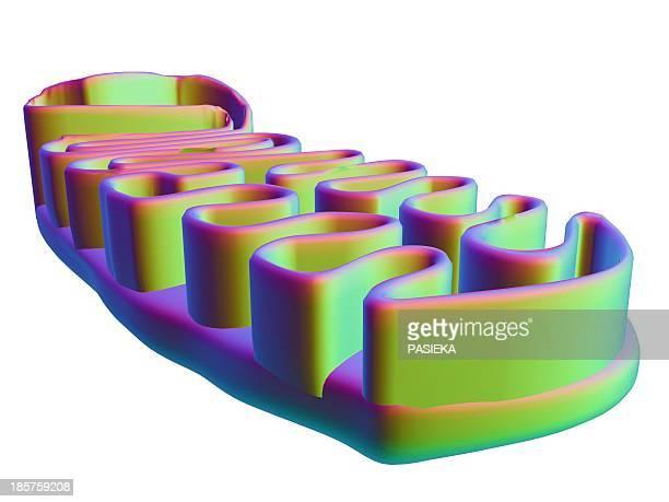 ilustraciones, imágenes clip art, dibujos animados e iconos de stock de mitochondrial structure, artwork - mitocondria