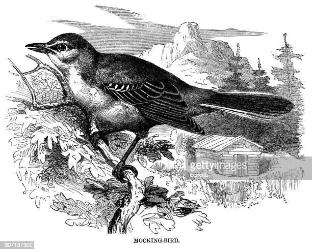 mockingbird - mockingbird stock illustrations, clip art, cartoons, & icons