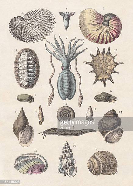 Mollusca, hand-coloured lithograph, published 1880