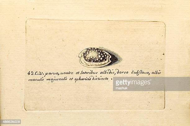 Molluscs, 18 century science illustration