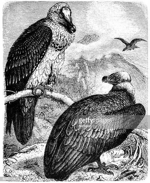Monk Vulture (Aegypius monachus) and Bearded Vulture (Gypaetus barbatus)
