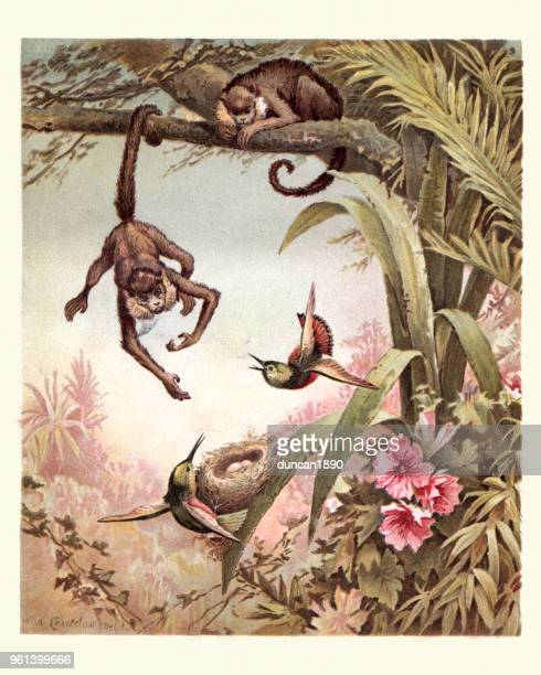 monkey stealing birds eggs from a nest, 19th century. - archival stock illustrations