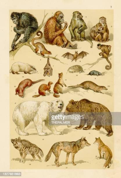 monkeys, bears, wolfes chromolithograph engraving 1895 - mammal stock illustrations