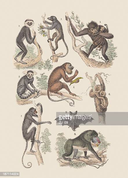 Monkeys and bat, hand-colored lithograph, published in 1880.