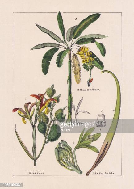 monocotyledons, musaceae, chromolithograph, published in 1895 - banana tree stock illustrations