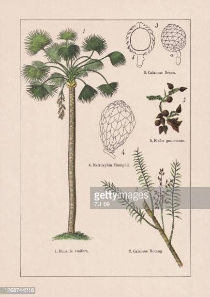 モノコチルドン、ヤシの木、クロモリトグラフ、1895年に出版 - リトグラフ点のイラスト素材/クリップアート素材/マンガ素材/アイコン素材
