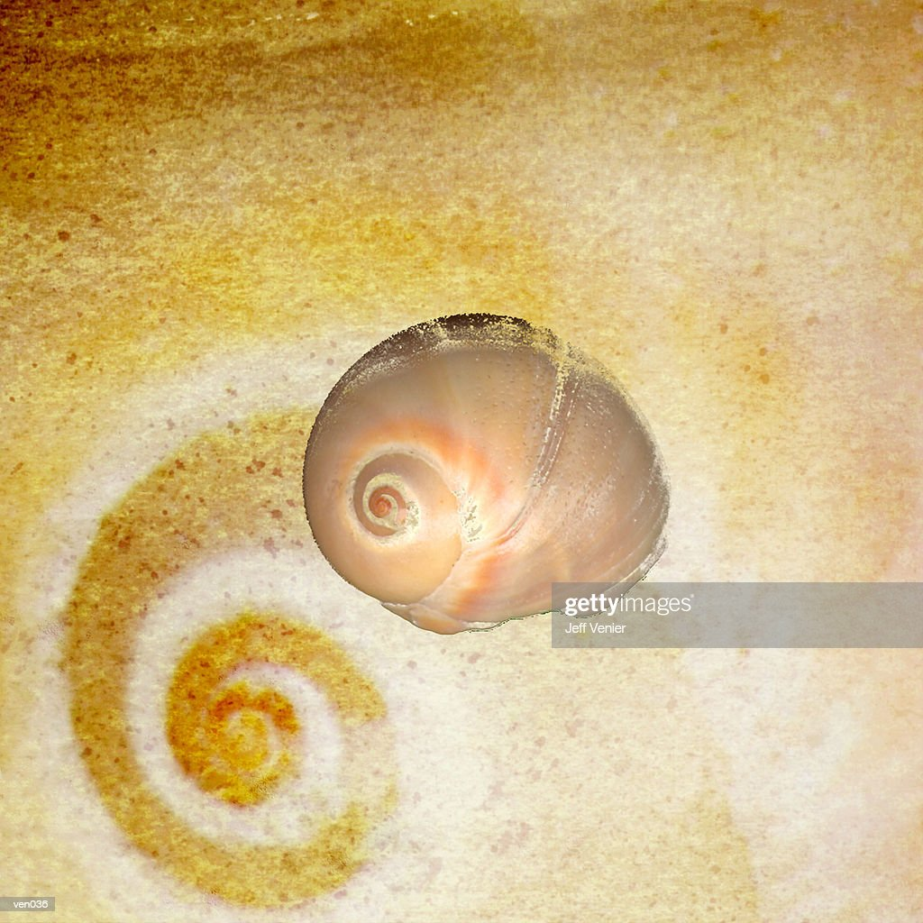 Moon Snail : Stock Illustration