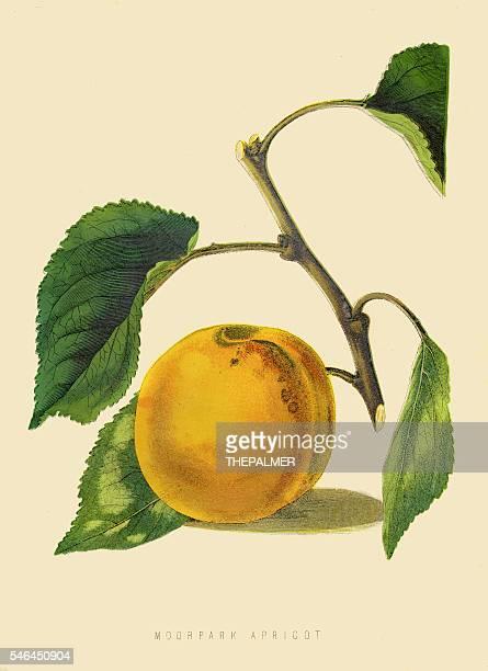 Moorpark Apricot illustration 1874