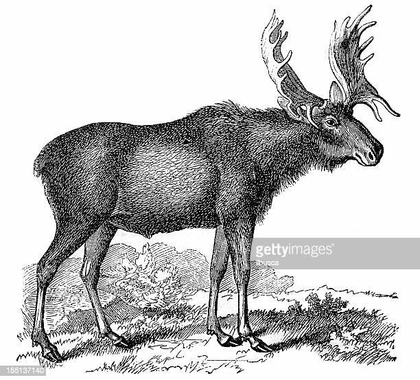 moose or eurasian elk (alces alces) - elk stock illustrations
