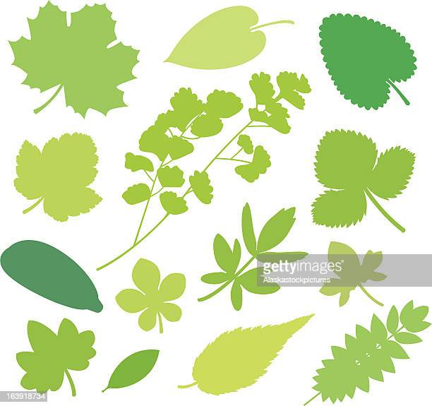 more green leafs xi - ranunculus stock illustrations, clip art, cartoons, & icons