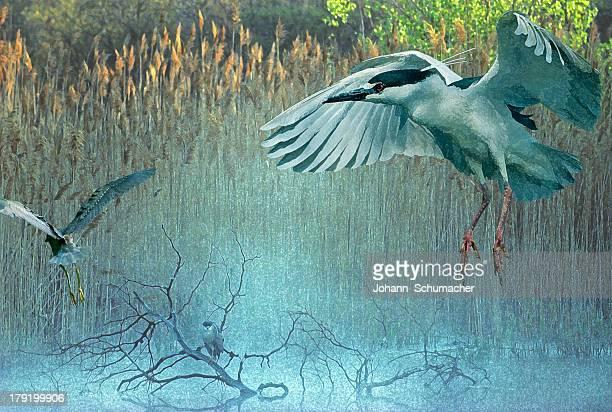 morning flight back-crowned night herons at pond - animal limb stock illustrations, clip art, cartoons, & icons