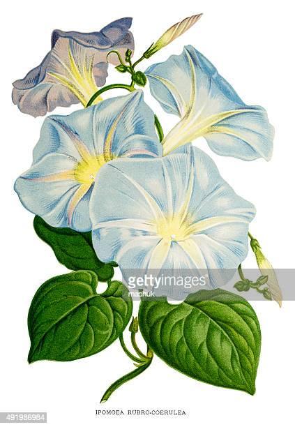Morning glories flowers 19 century