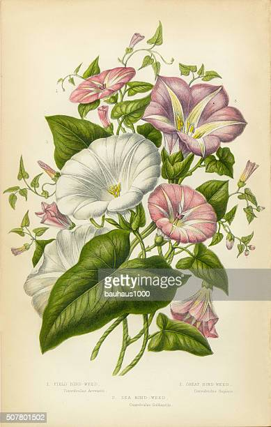 morning glory, bindweed, victorian botanical illustration - lithograph stock illustrations