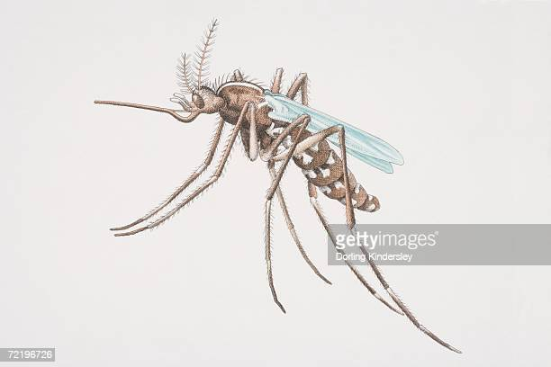 mosquito (culicidae), side view. - animal limb stock illustrations, clip art, cartoons, & icons