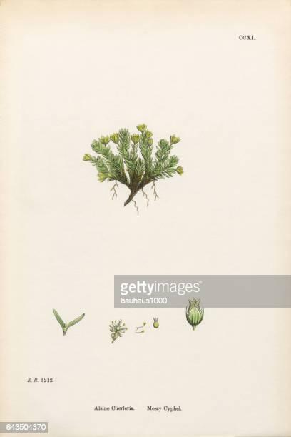 mossy cyphel, alsine cherleria, victorian botanical illustration, 1863 - sandwort stock illustrations, clip art, cartoons, & icons