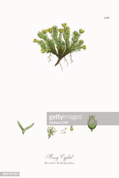 ilustrações, clipart, desenhos animados e ícones de cyphel musgoso, alsine cherleria, ilustração botânica vitoriana, 1863 - chickweed