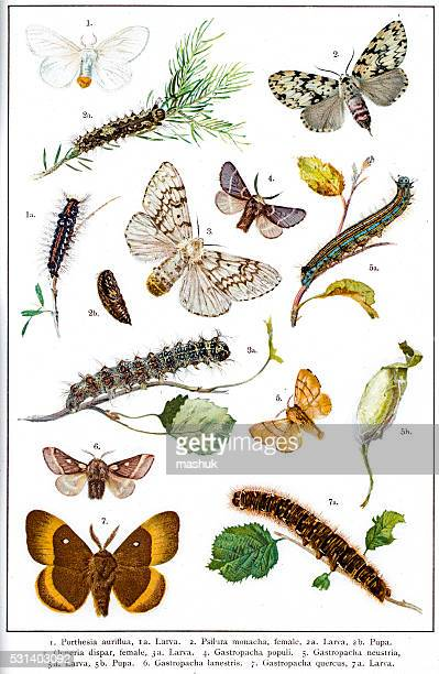 moths of europe and north america - life cycle stock illustrations