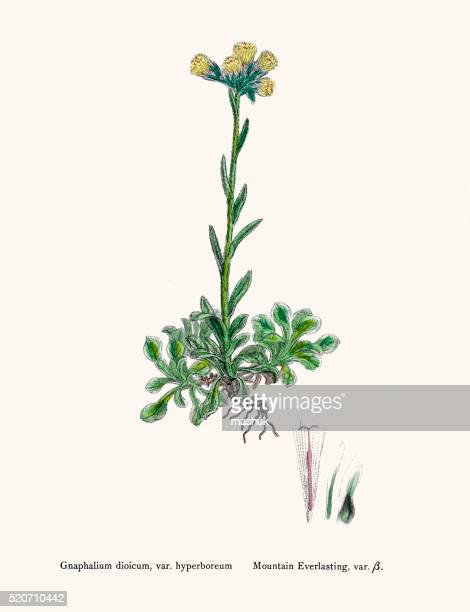 mountain everlasting plant 19th century illustration - eternity stock illustrations
