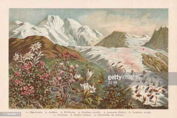 mountain flora, chromolithograph, published in 1894 - lithograph stock illustrations