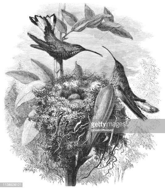 山 Velvetbreast ハチドリ-19 世紀