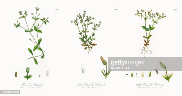 mouse ear chickweed, cerastium tetrandrum, victorian botanical illustration, 1863 - chickweed stock illustrations, clip art, cartoons, & icons