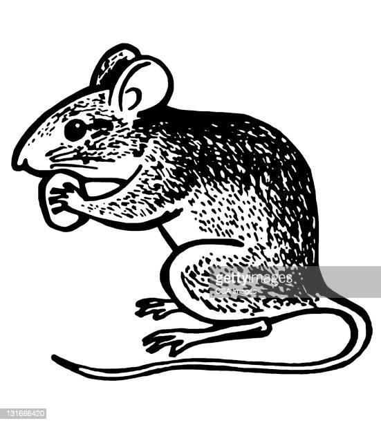 Rat Premium Stock Illustrations - Getty Images