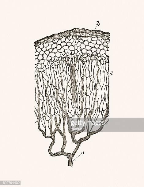 Mucous cells of the intestine 19 century medical illustration