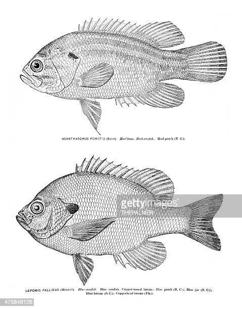 ilustraciones, imágenes clip art, dibujos animados e iconos de stock de mud bass y azul sunfish grabado - pez luna pez