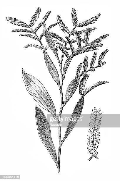 Mudgee wattle (Acacia spectabilis)