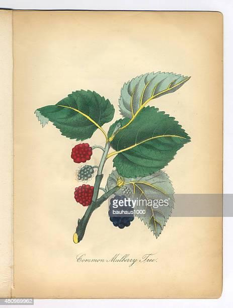 マルベリーの木のビクトリア植物イラストレーション - マルベリー点のイラスト素材/クリップアート素材/マンガ素材/アイコン素材