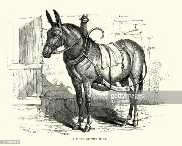 ilustraciones, imágenes clip art, dibujos animados e iconos de stock de mula del midi, siglo xix - mula