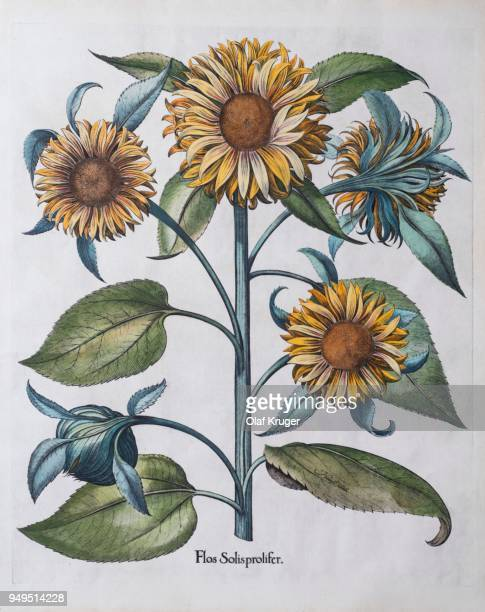 ilustrações de stock, clip art, desenhos animados e ícones de multiflowered sunflower (helianthus annuus), hand-coloured copper engraving by basilius besler, from hortus eystettensis, 1613 - girassol