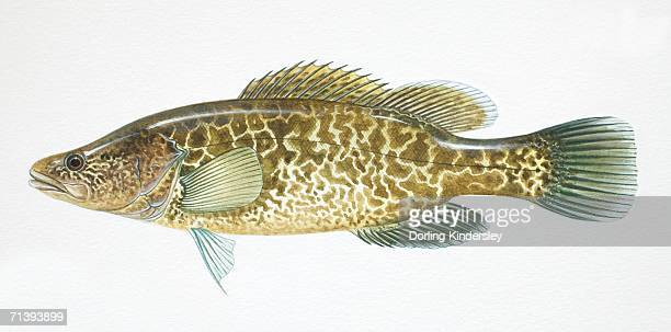 Murray Cod, Maccullochella peeli, side view.