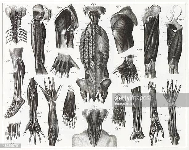 ilustrações, clipart, desenhos animados e ícones de anatomia muscular aviso - membro parte do corpo