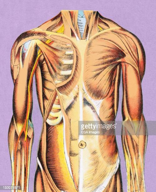 muscle anatomy - chest torso stock illustrations, clip art, cartoons, & icons